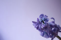 Free Violet Flower Stock Photography - 12658312
