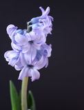 Violet flower. Royalty Free Stock Images