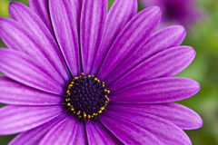 Violet flower Stock Images