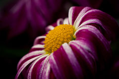 Free Violet Flower Stock Photos - 14958173