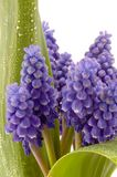 Violet flower. Violet lily of valley with green leafs. Isolated Stock Images
