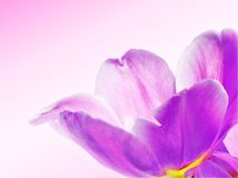 Violet flower. Beautiful violet flower close up Royalty Free Stock Images