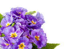 Violet Flower. Beautiful violet flower, on a white background royalty free stock images