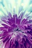 Violet flower. Bright violet  flower close up Stock Image