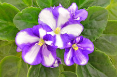 Violet flower Royalty Free Stock Images