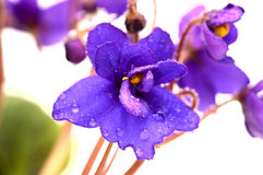 Violet flower Royalty Free Stock Image
