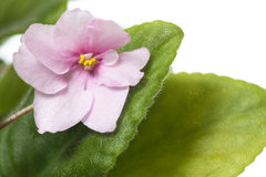 Violet flower. Closeup shot of single pink violet flower on white background Stock Photo