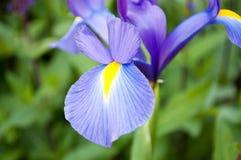 Violet Flower Royalty-vrije Stock Afbeelding