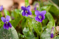 Violet flower Stock Photos