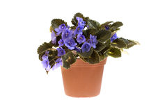 Violet flower. In pot isolated on white background Royalty Free Stock Photos