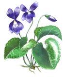 Violet flower. Hand-made illustration of a violet flower royalty free illustration