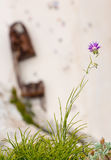 Violet flower above a steep cliff with rusty shipwreck Stock Photos