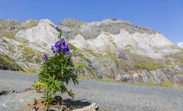 Violet Flower in the Circus of Troumouse - Pyrenees Mountains Stock Images