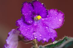 Violet flower African violets. Closeup with drops Stock Photo