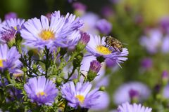 Violet Flower Aster Alpinus con la abeja, República Checa, Europa Fotos de archivo