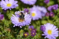Violet Flower Aster Alpinus con la abeja, República Checa, Europa Imagen de archivo libre de regalías