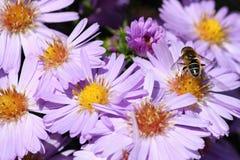 Violet Flower Aster Alpinus con una abeja, República Checa, Europa Imagen de archivo libre de regalías