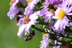 Violet Flower Aster Alpinus mit einer Biene, Tschechische Republik, Europa Stockfotografie