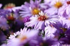 Violet Flower Aster Alpinus, Tsjechische republiek, Europa Stock Foto