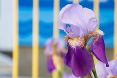 Violet Flower av den tyska irins i våren, irisgermanica Royaltyfri Bild