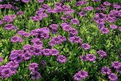 Violet flower background. Violet flower field background in summer Stock Images