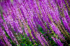 Violet flower background from salvia nemorosa Royalty Free Stock Image