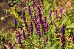 Violet flower background from salvia nemorosa Stock Image