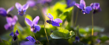 Violet flower banner Stock Photography