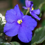 Violet flower. Violet is a beautiful flower for home Stock Photo