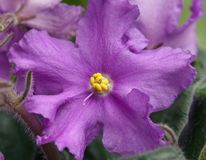 Violet flower Royalty Free Stock Images