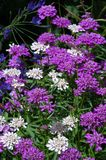Violet flower-bed. A bed of violet, white and blue flowers Stock Images