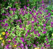 Violet flower bed texture Stock Images