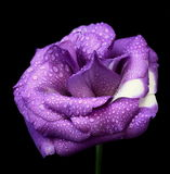 Violet flower. On the black background Royalty Free Stock Images