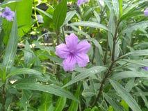 The violet flower is bloom. Violet flower bloom garden petal royalty free stock photography