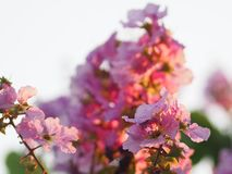 Violet Flower blossom Lagerstroemia speciosa Pers LYTHRACEAE Lagerstroemia beautiful bouquet in nature blur background. Closeup Violet Flower blossom stock images