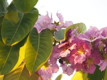 Violet Flower blossom Lagerstroemia speciosa Pers LYTHRACEAE Lagerstroemia beautiful bouquet in nature blur background. Closeup Violet Flower blossom stock photography