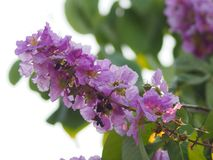 Violet Flower blossom Lagerstroemia speciosa Pers LYTHRACEAE Lagerstroemia beautiful bouquet in nature blur background. Closeup Violet Flower blossom royalty free stock image