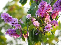 Violet Flower blossom Lagerstroemia speciosa Pers LYTHRACEAE Lagerstroemia beautiful bouquet in nature blur background. Closeup Violet Flower blossom royalty free stock photography