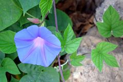 Purple flower blossomed, green leaves. The plant is a creeper blooms. stock image