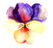 Violet flower. Blossoming Violet flower, watercolor illustration Stock Images