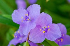 Violet flower bright and fresh shot close-up.  Royalty Free Stock Image