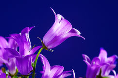 Violet  flower Campanula Stock Images