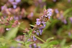 Violet flower catnip in ecofriendly rustic home garden. Violet flower catnip in ecofriendly rustic home garde. Nectar source plant friendly to bees royalty free stock image
