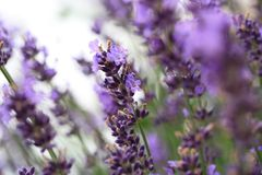 Violet flower catnip in ecofriendly rustic home garden. Violet flower catnip in ecofriendly rustic home garde. Nectar source plant friendly to bees stock photo