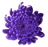 Violet flower chrysanthemum. white  isolated background with clipping path.  Closeup. no shadows. Royalty Free Stock Images