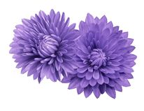 Violet flower chrysanthemums; on a white   isolated background with clipping path.   Closeup.  no shadows.  For design. Nature Royalty Free Stock Photos