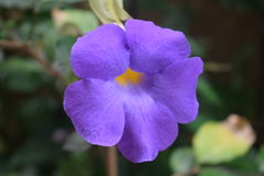 Violet flower. Close up shot of a violet garden flower Stock Photo