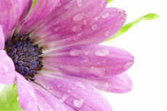 Violet flower. Close-up of violet flower with water drops royalty free stock photos