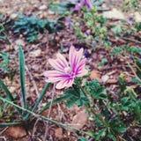 Violet flower. CloseUp of a Violet wild flower Stock Image