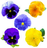 Violet flower collection. Pansies on White background. flower Pa Royalty Free Stock Photography